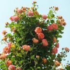バラ苗 ソレイユロマンティカ 国産大苗6号スリット鉢 つるバラ(CL) 返り咲き オレンジ系
