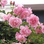 【訳あり】苗B バラ苗 スパニッシュビューティ 6号スリット鉢 つるバラ 一季咲き ピンク系
