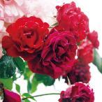 バラ苗 ダブリンベイ 国産大苗6号スリット鉢 つるバラ 四季咲き 赤系