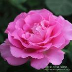 ショッピングバラ バラ苗 アリュール 国産大苗7号角鉢 四季咲き ピンク系(ローズなかしま)