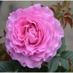 バラ苗 フェリーチェ 国産大苗7号角鉢 四季咲き ピンク系(ローズなかしま)