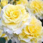 バラ苗 ラルーチェ 国産大苗7号角鉢 四季咲き 黄色系(ローズなかしま)