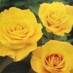 バラ苗 エバーゴールド 国産新苗4号ポリ鉢つるバラ(CL) 返り咲き 黄色系