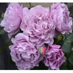 ショッピングバラ バラ苗 エターナル 国産大苗7号角鉢 四季咲き 紫系(ローズなかしま)