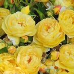 バラ苗 新苗 デルバール シャトードゥシュベルニー つるバラ 黄色系