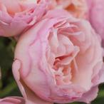 バラ苗 プリンセスシャルレーヌドゥモナコ 国産新苗4号ポリ鉢 (HT) 四季咲き大輪 アンティークタイプ ピンク系