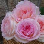 バラ苗 ルイの涙(るいのなみだ) 国産大苗6号スリット鉢 ハイブリッドティー(HT) 四季咲き大輪 ピンク系