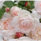 アンティークタイプのバラ