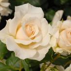 バラ苗 フレンチレース 国産新苗植え替え6号スリット鉢 フロリバンダ(FL) 四季咲き中輪 白系
