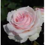 バラ苗 春乃 国産新苗植え替え6号スリット鉢 フロリバンダ(FL) 四季咲き中輪 ピンク系