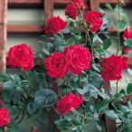 アウトレット バラ苗 レッドニュードーン 四季咲き つるバラ CL 赤系