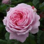バラ苗 マリーヘンリエッテ 国産大苗6号スリット鉢 つるバラ(CL) 四季咲き 大輪 ピンク系