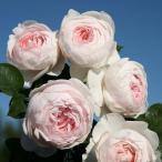 バラ苗 クリスティアーナ 国産大苗6号スリット鉢 つるバラ(CL) 四季咲き アンティークタイプ 淡桃 ピンク系