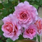 バラ苗 新苗 アイスフォーゲル つるバラ ピンク系