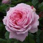 バラ苗 マリーヘンリエッテ 国産新苗植え替え6号スリット鉢 つるバラ(CL) 四季咲き 大輪 ピンク系