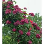 バラ苗 ソニャドール 国産大苗6号スリット鉢 つるバラ(CL) 四季咲き 紫系