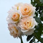 ショッピングバラ バラ苗 シリウス 国産新苗植え替え6号スリット鉢 つるバラ(CL) 返り咲き中輪 白系