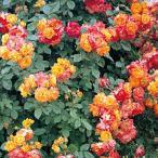 バラ苗 ふれ太鼓 国産大苗6号スリット鉢 つるバラ(CL) 四季咲き 複色系