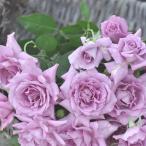 バラ苗 パープルレイン 国産大苗河本オリジナル角鉢6号 四季咲き 中輪 紫系