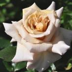 バラ苗 大苗 河本バラ園 トレゾア 四季咲き大輪 ブラウン系