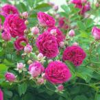 バラ苗 新苗 プティルージュ つるバラ 赤系 ピンク系