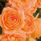 予約苗 バラ苗 サンセットメモリー 国産大苗6号スリット鉢 つるバラ(CL) 四季咲き オレンジ系(2017年2月上旬順次配送)