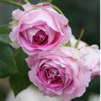 ショッピングバラ 予約苗 バラ苗 パヴィヨンドゥプレイニー 国産大苗6号スリット鉢 四季咲き小輪 ピンク系 オールドローズ(ノアゼットローズ)