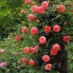 バラ苗 新苗 ワーナーズローゼス レディペネロープ つるバラ(CL) ピンク系