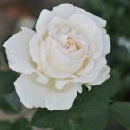バラ苗 大苗 ニルプ エルヴィス 四季咲き大輪  白系