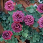 バラ苗 みかも 国産大苗 禅ローズオリジナル角鉢7号 返り咲き中輪 つるバラ(CL) 紫系(禅ローズ)