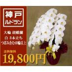 【行列のできるお花屋さん】大輪 胡蝶蘭 3本立ち 白色 つぼみ含む40輪以上【神戸】【送料無料】