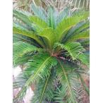 ◆蘇鉄◆≪ソテツ・M≫そてつ♪リゾート庭木!お買い得!