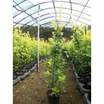 黄金マサキ 樹高1.0m 20本セット