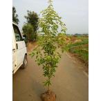 常緑ヤマボウシ ホンコンエンシス月光  樹高1.5m