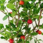 アセローラ苗 甘味系ハワイ種 挿木苗(中サイズ)3鉢セット