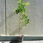 ジャボチカバ苗(四季なり種) 実生小苗