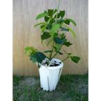 ボタンマンゴスチン苗 取木苗