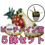 ピーチパイン苗 ポット苗5鉢セット