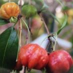 ピタンガ苗 実生苗 品種:ラバー