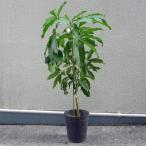 ホワイトサポテ苗 (フロリダ種)接木苗