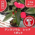 高品質 観葉植物 アンスリウム レッド 1ポット 12cmポット レビューを書いて特典あり