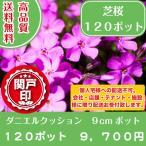 最安値 高品質 芝桜 ダニエルクッション9cmポット 120ポット 送料無料(本州・四国に限り) レビューを書いて特典あり