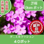 最安値 高品質 芝桜 ダニエルクッション9cmポット 40ポット 送料無料(本州・四国に限り) レビューを書いて特典あり