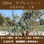 【送料無料(本州のみ)】1本 オリーブの木 樹高1m〜1.2m前後 チプレッシーノ