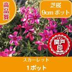 最安値 高品質 芝桜 スカーレット 9cmポット 1ポット レビューを書いて特典あり
