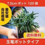 生産者だから関戸園芸の玉竜は高品質で低価格!