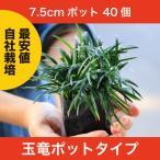 玉竜(タマリュウ) ポットタイプ 40個セット 自家栽培 産地直送 7.5cmポット 40ポット