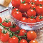 ミニトマトの種  紅小丸  小袋(20粒) ( 野菜の種 )