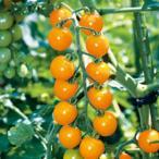 ミニトマトの種 オレンジ千果 DF  18粒