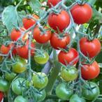 ミニトマトの種 キャンデイーレッド 10粒 ( 野菜の種 )